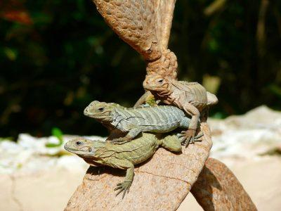 iguanas-1887