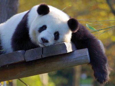 panda-3857754_1920